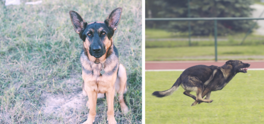 Exercising German Shepherds