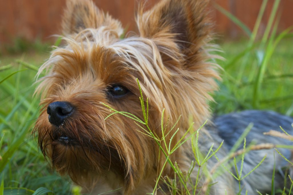No shed dog breed, dog's that don't shed, yorkshire terrier