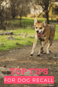 Recall top training tips to train recall with your dog
