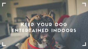 dog entertained indoors