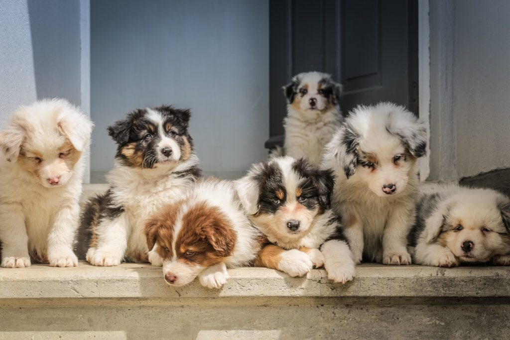 Australian Shepherd Puppies, Raw Eggs