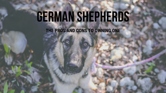 German Shepherd Dog - Pros and Cons of Owning A German Shepherd